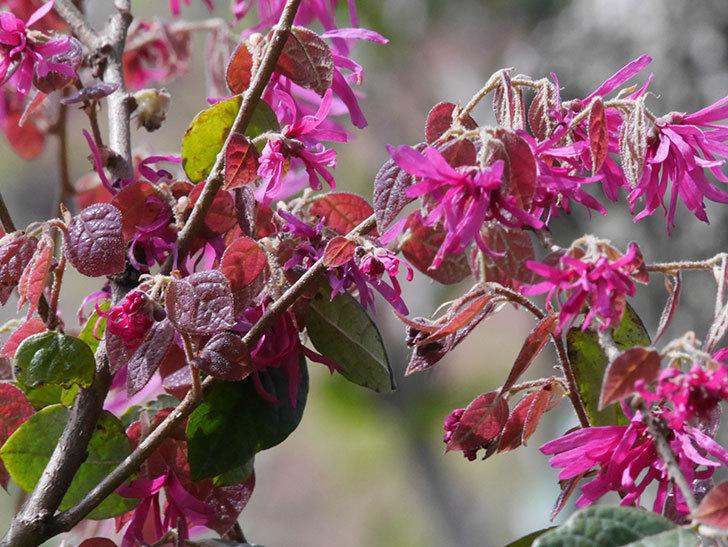 ベニバナトキワマンサクの花が増えてきた。2021年-034.jpg