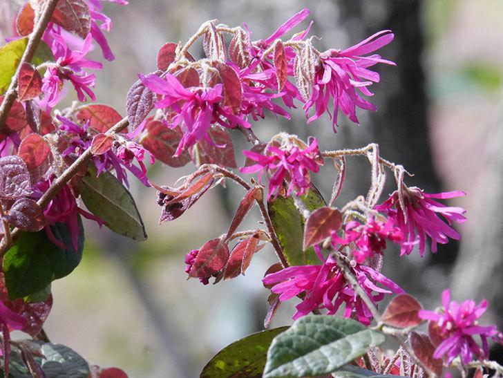 ベニバナトキワマンサクの花が増えてきた。2021年-035.jpg