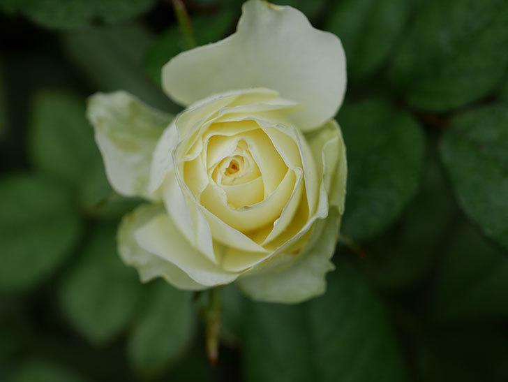 ベルガモ・フォーエバー(Bergamo Forever)の2番花が咲いた。ミニバラ。2020年-001.jpg