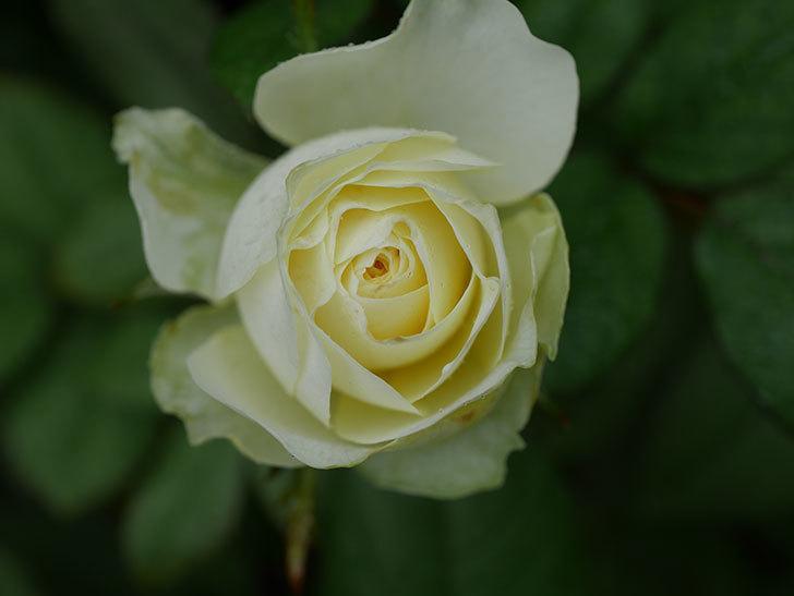 ベルガモ・フォーエバー(Bergamo Forever)の2番花が咲いた。ミニバラ。2020年-003.jpg