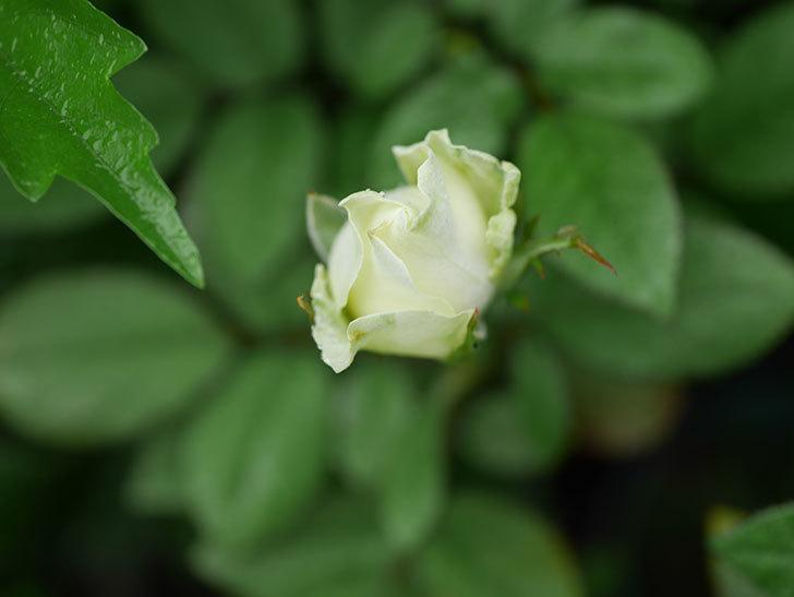 ベルガモ・フォーエバー(Bergamo Forever)の2番花が咲いた。ミニバラ。2020年-004.jpg