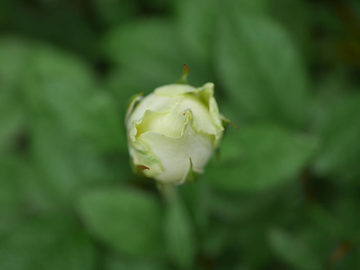 ベルガモ・フォーエバー(Bergamo Forever)の2番花が咲いた。ミニバラ。2020年-006.jpg