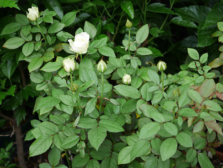 ベルガモ・フォーエバー(Bergamo Forever)の2番花が咲いた。ミニバラ。2020年-007.jpg