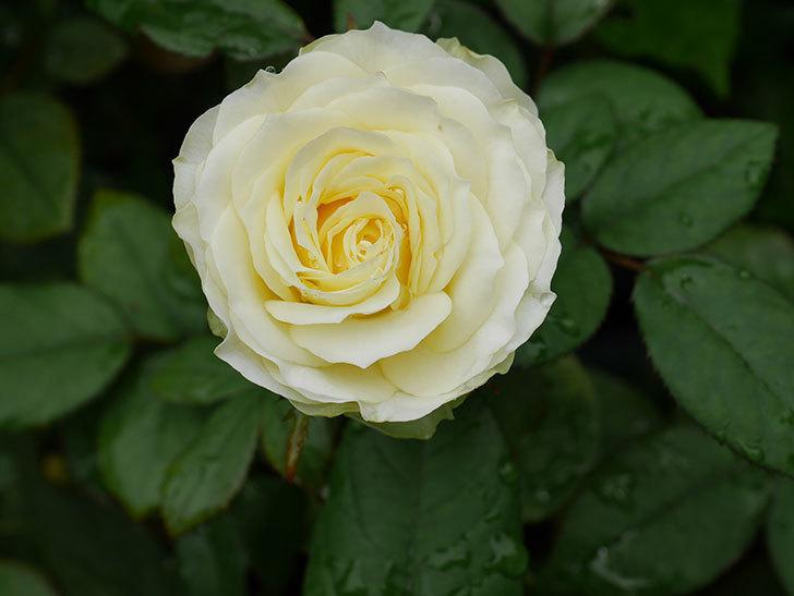 ベルガモ・フォーエバー(Bergamo Forever)の2番花が咲いた。ミニバラ。2020年-009.jpg