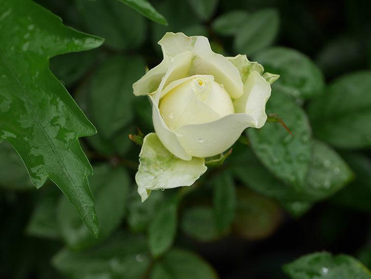 ベルガモ・フォーエバー(Bergamo Forever)の2番花が咲いた。ミニバラ。2020年-012.jpg