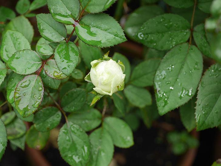 ベルガモ・フォーエバー(Bergamo Forever)の2番花が咲いた。ミニバラ。2020年-013.jpg