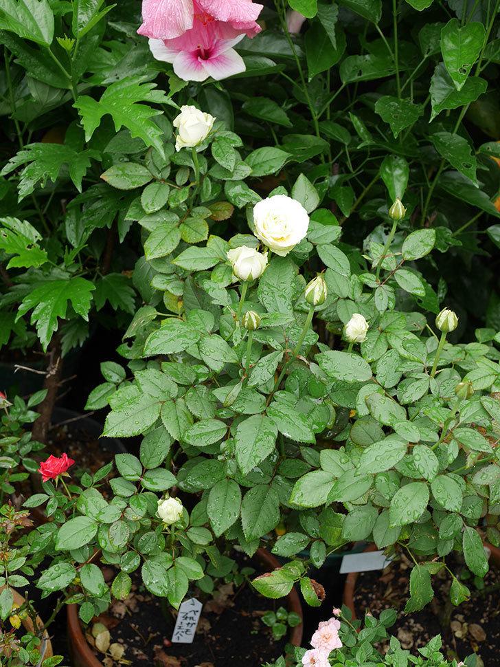 ベルガモ・フォーエバー(Bergamo Forever)の2番花が咲いた。ミニバラ。2020年-014.jpg