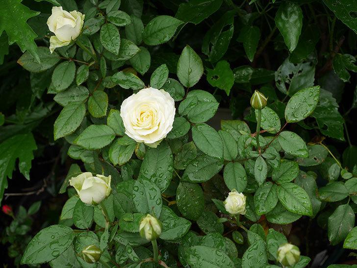 ベルガモ・フォーエバー(Bergamo Forever)の2番花が咲いた。ミニバラ。2020年-015.jpg