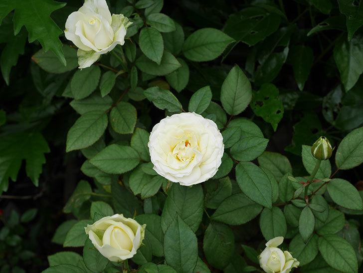 ベルガモ・フォーエバー(Bergamo Forever)の2番花が咲いた。ミニバラ。2020年-016.jpg
