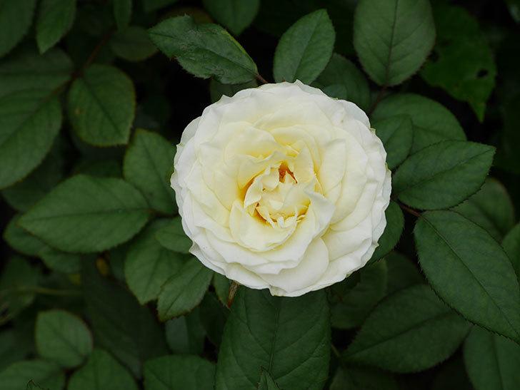 ベルガモ・フォーエバー(Bergamo Forever)の2番花が咲いた。ミニバラ。2020年-017.jpg