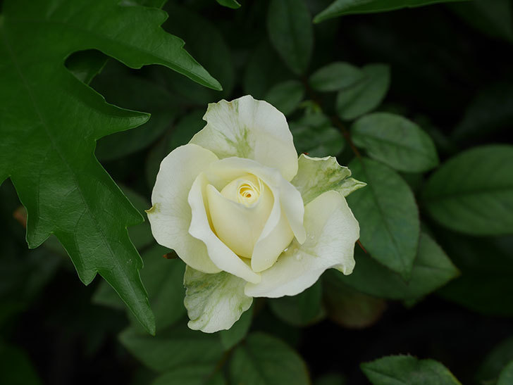 ベルガモ・フォーエバー(Bergamo Forever)の2番花が咲いた。ミニバラ。2020年-018.jpg