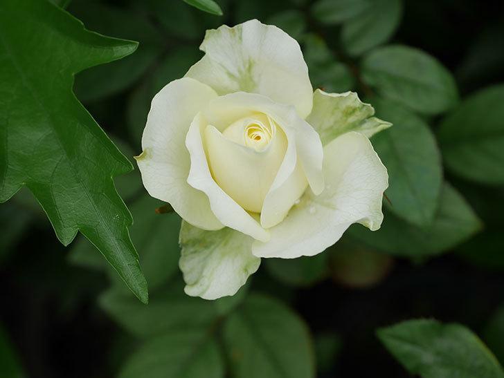ベルガモ・フォーエバー(Bergamo Forever)の2番花が咲いた。ミニバラ。2020年-019.jpg