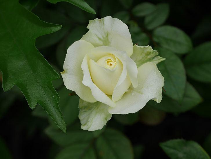 ベルガモ・フォーエバー(Bergamo Forever)の2番花が咲いた。ミニバラ。2020年-020.jpg
