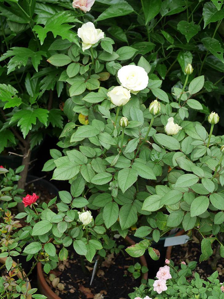 ベルガモ・フォーエバー(Bergamo Forever)の2番花が咲いた。ミニバラ。2020年-022.jpg