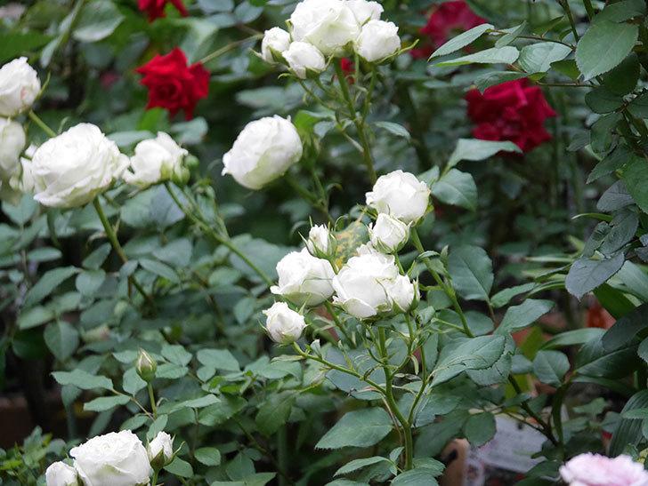 ベルガモ・フォーエバー(Bergamo Forever)の花が咲いた。ミニバラ。2020年-017.jpg
