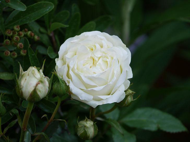 ベルガモ・フォーエバー(Bergamo Forever)の花が咲いた。ミニバラ。2021年-003.jpg