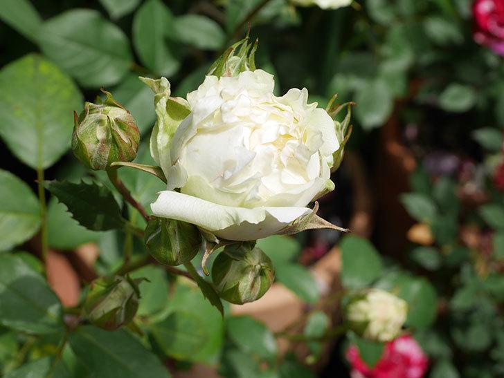 ベルガモ・フォーエバー(Bergamo Forever)の花が咲きだした。ミニバラ。2021年-005.jpg