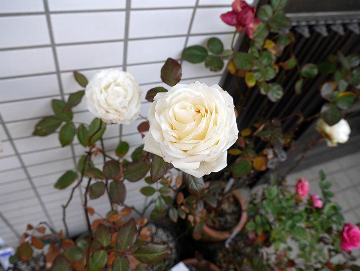 ベルガモ・フォーエバー(ミニバラ)がまだ綺麗に咲いている。2018年-4.jpg