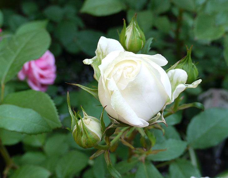 ベルガモ・フォーエバー(ミニバラ)が咲いた。2017年-2.jpg