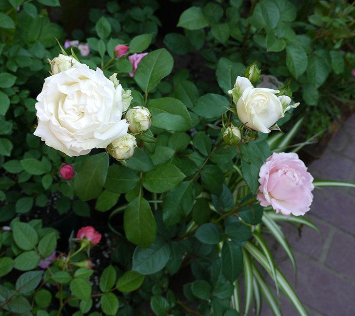 ベルガモ・フォーエバー(ミニバラ)が咲いた。2017年-4.jpg