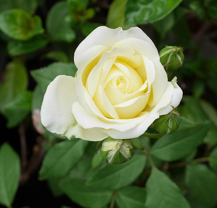 ベルガモ・フォーエバー(ミニバラ)が咲いた。2018年-1.jpg