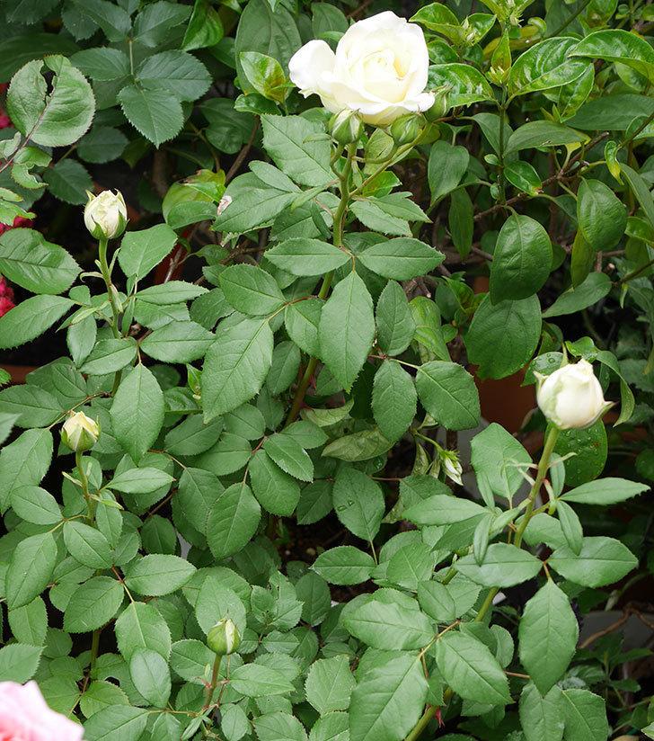 ベルガモ・フォーエバー(ミニバラ)が咲いた。2018年-4.jpg