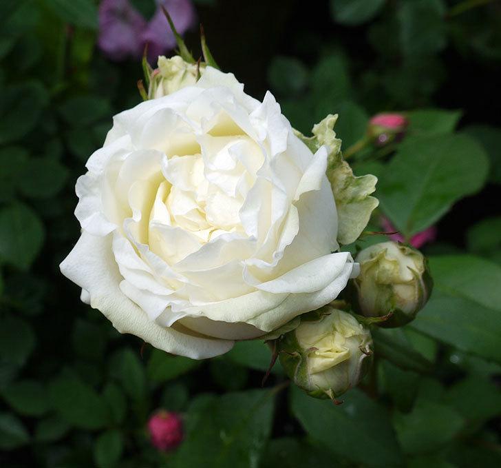 ベルガモ・フォーエバー(ミニバラ)が咲きだした。2017年-1.jpg