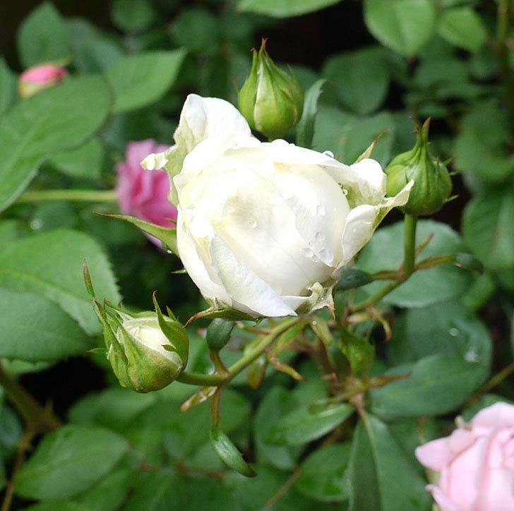 ベルガモ・フォーエバー(ミニバラ)が咲きだした。2017年-3.jpg
