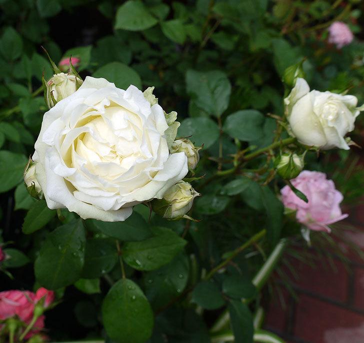 ベルガモ・フォーエバー(ミニバラ)が咲きだした。2017年-4.jpg