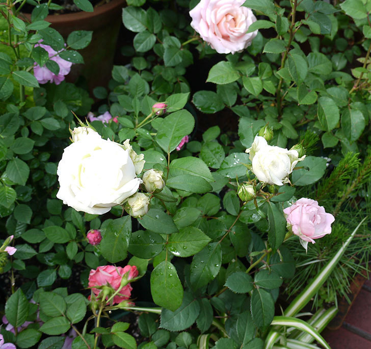 ベルガモ・フォーエバー(ミニバラ)が咲きだした。2017年-5.jpg