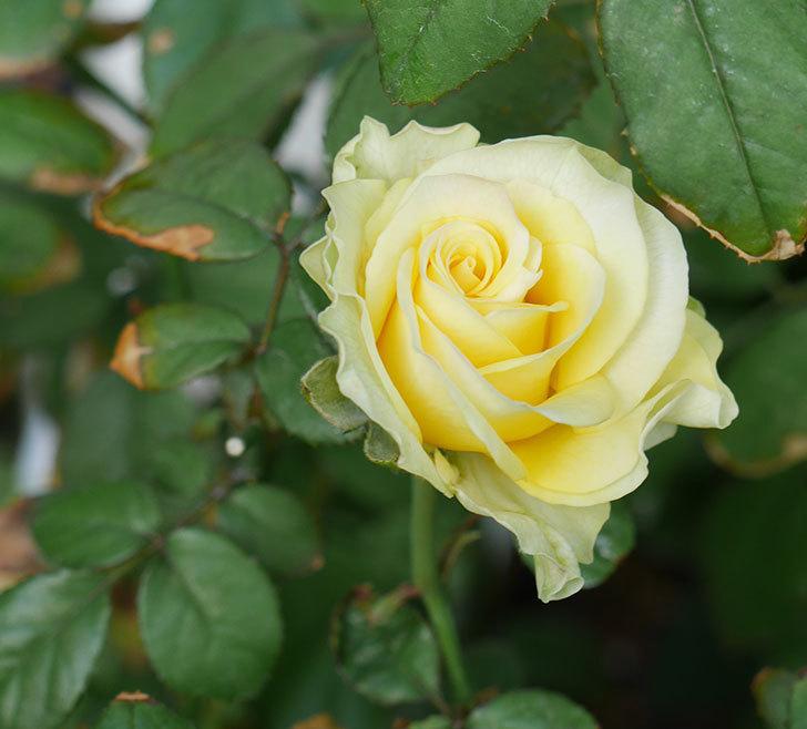 ベルガモ・フォーエバー(ミニバラ)にクリーム色の花が咲いた。2018年-1.jpg