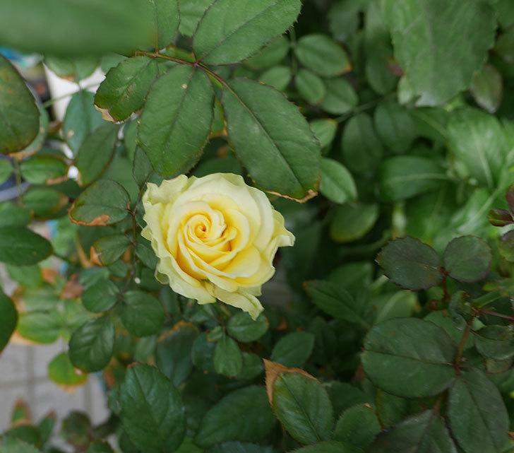 ベルガモ・フォーエバー(ミニバラ)にクリーム色の花が咲いた。2018年-3.jpg
