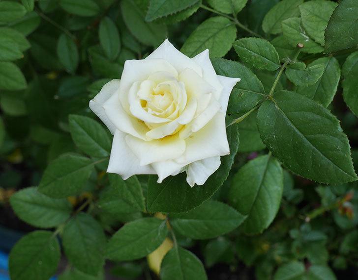 ベルガモ・フォーエバー(ミニバラ)の夏花が咲いた。2018年-1.jpg