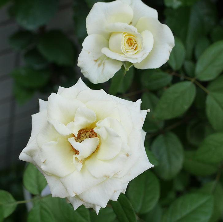 ベルガモ・フォーエバー(ミニバラ)の夏花が咲いた。2018年-4.jpg