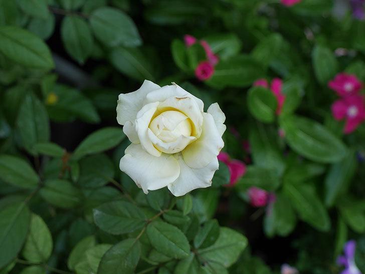 ベルガモ・フォーエバー(ミニバラ)の夏花が咲いた。2018年-5.jpg