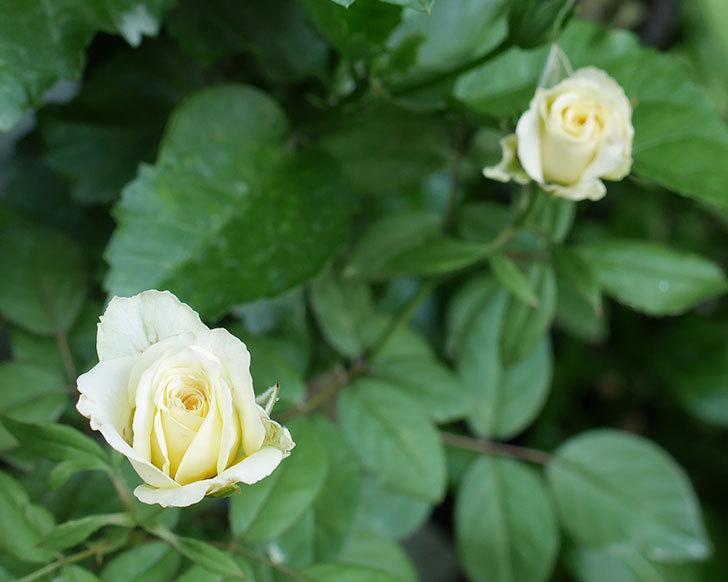ベルガモ・フォーエバー(ミニバラ)の夏花が咲いた。2018年-6.jpg