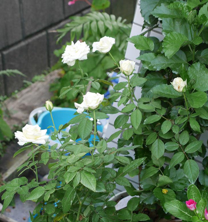 ベルガモ・フォーエバー(ミニバラ)の夏花が咲いた。2018年-7.jpg