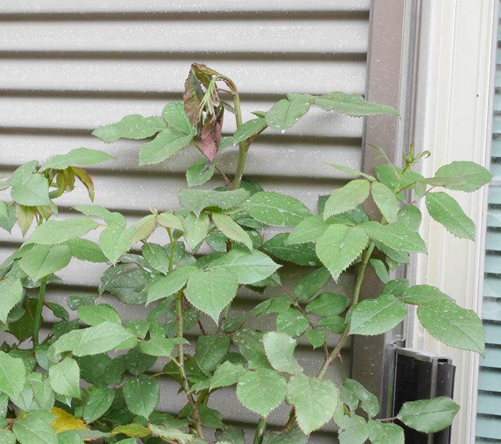 ベルガモ・フォーエバー(ミニバラ)の新枝が1本バラクキバチにやられて萎れた。2019年-2.jpg