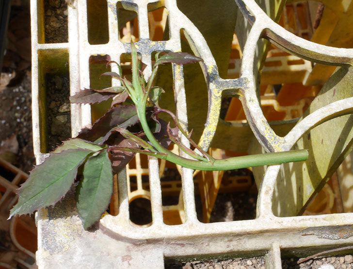 ベルガモ・フォーエバー(ミニバラ)の新枝が1本バラクキバチにやられて萎れた。2019年-3.jpg