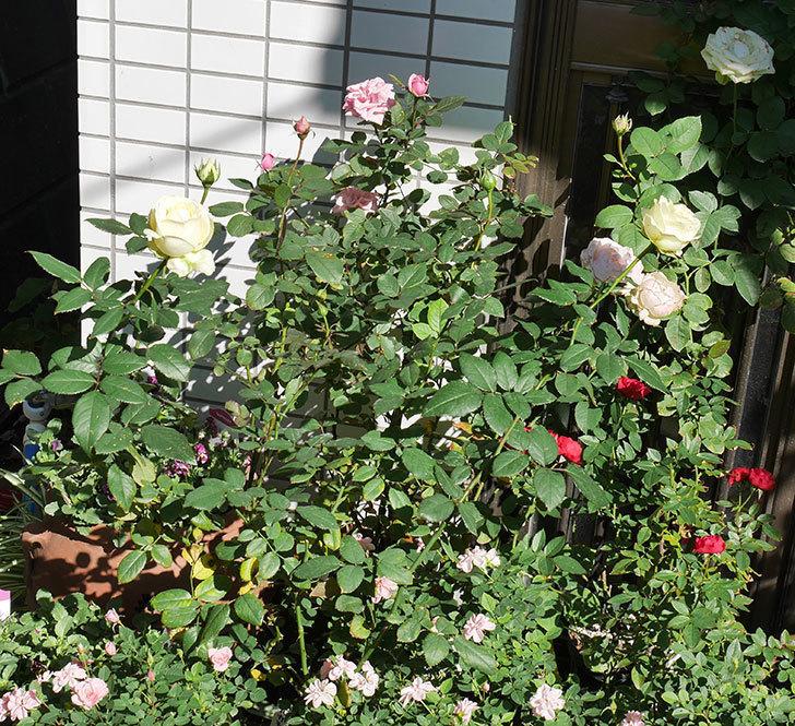 ベルガモ・フォーエバー(ミニバラ)の秋花がまた咲いた。2017年-7.jpg