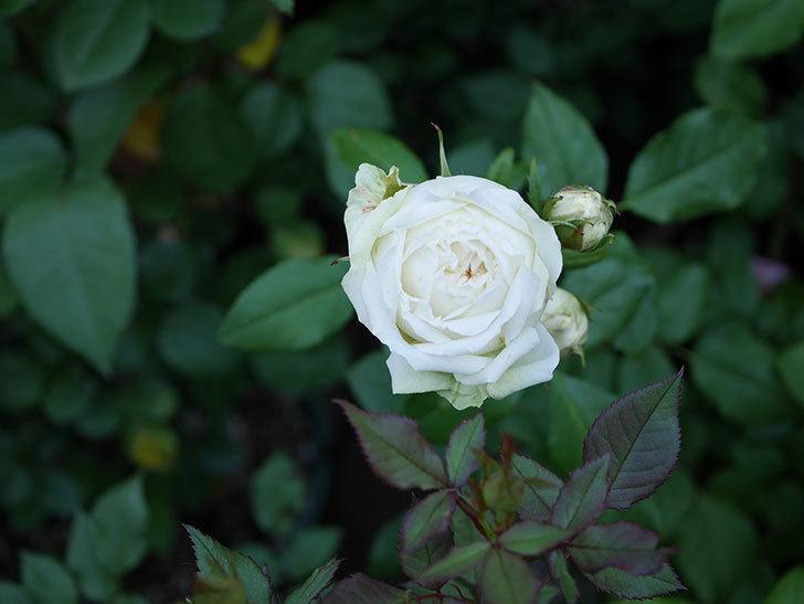 ベルガモ・フォーエバー(ミニバラ)の花が咲いた。2019年-1.jpg