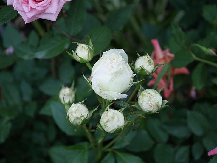 ベルガモ・フォーエバー(ミニバラ)の花が咲いた。2019年-2.jpg