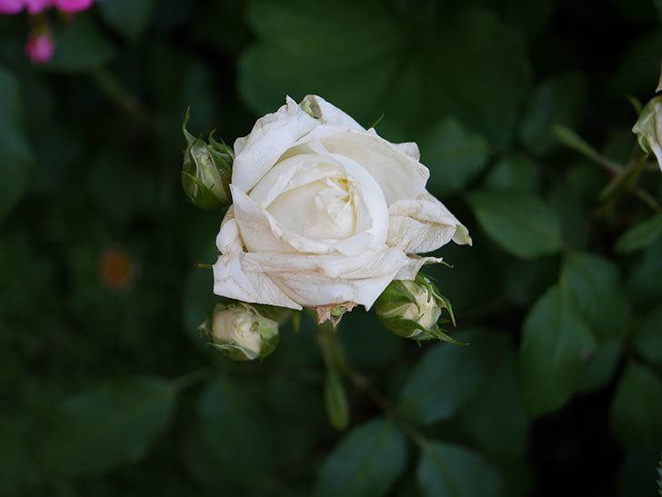 ベルガモ・フォーエバー(ミニバラ)の花が咲いた。2019年-5.jpg