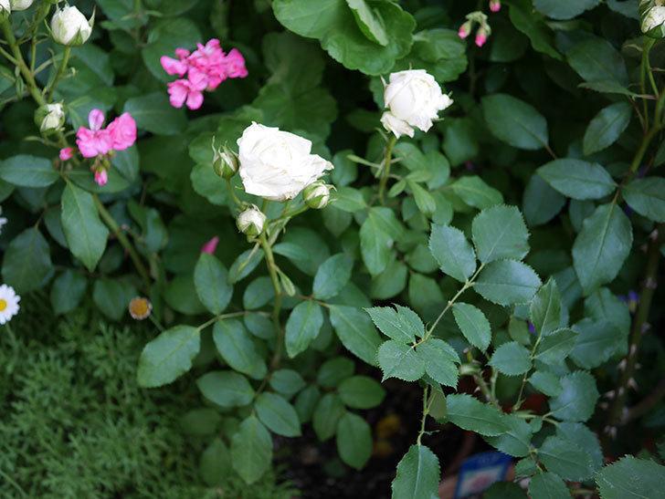 ベルガモ・フォーエバー(ミニバラ)の花が咲いた。2019年-7.jpg