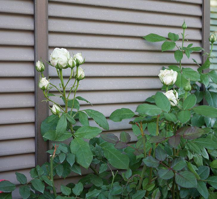 ベルガモ・フォーエバー(ミニバラ)の花が咲いた。2019年-8.jpg