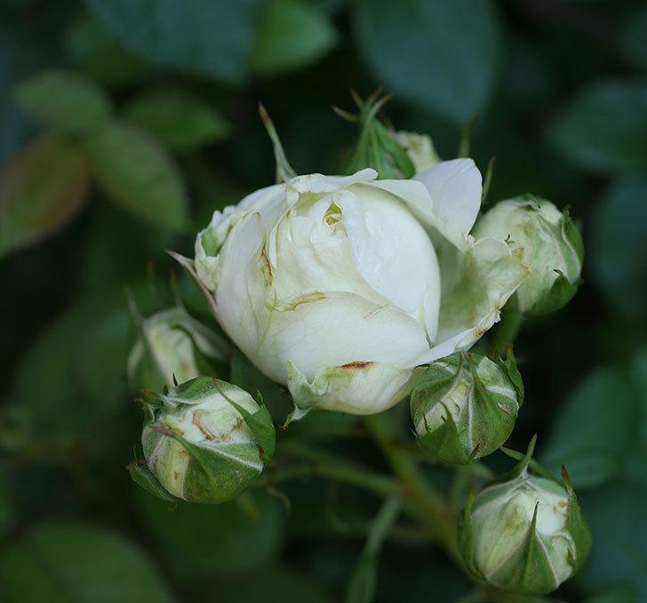 ベルガモ・フォーエバー(ミニバラ)の花が少し咲いた。2019年-1.jpg