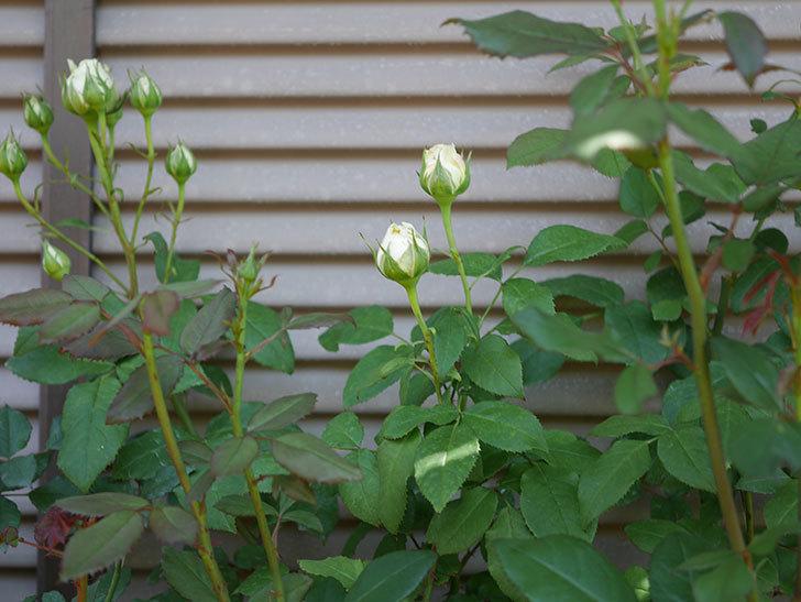 ベルガモ・フォーエバー(ミニバラ)の花が少し咲いた。2019年-2.jpg