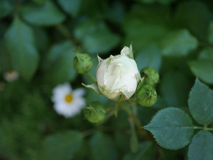 ベルガモ・フォーエバー(ミニバラ)の花が少し咲いた。2019年-3.jpg