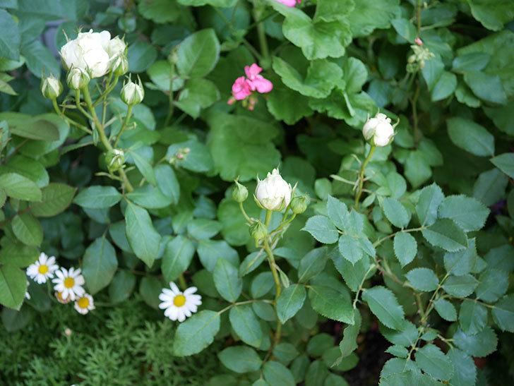 ベルガモ・フォーエバー(ミニバラ)の花が少し咲いた。2019年-5.jpg