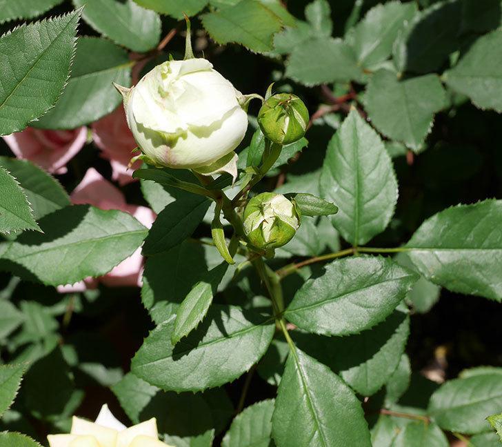 ベルガモ・フォーエバー(ミニバラ)の花が少し咲いた。2019年-7.jpg